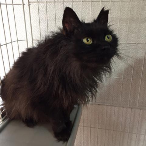 ゴミ屋敷からレスキューした長毛黒猫ピンクちゃん