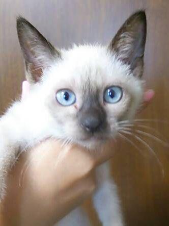 猫 ミックス シャム